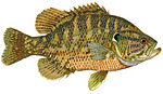 Rock Bass / Google-Eye Thumbnail