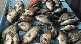 Crappie caught on memorable trip