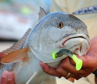 Photo of Redfish Caught by Bill with Mister Twister Exude™ Cigar Mino in Florida - Mister Twister